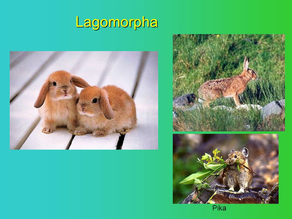 Lagomorpha Pika