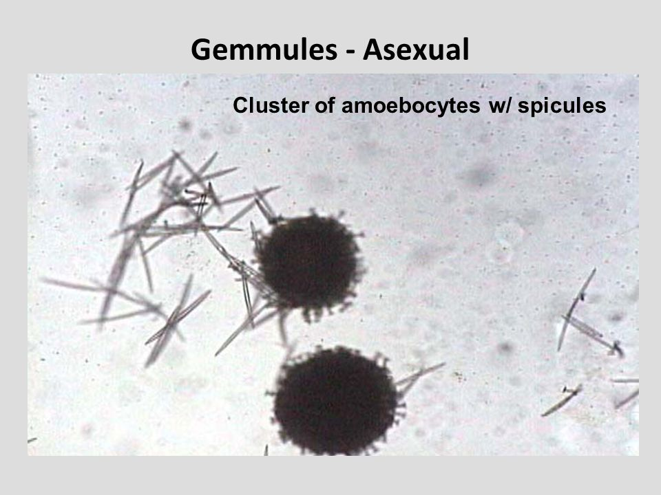 Gemmules - Asexual Cluster of amoebocytes w/ spicules