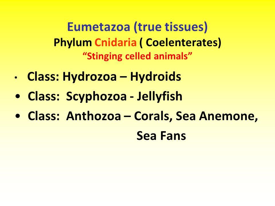 Class: Scyphozoa - Jellyfish Class: Anthozoa – Corals, Sea Anemone,
