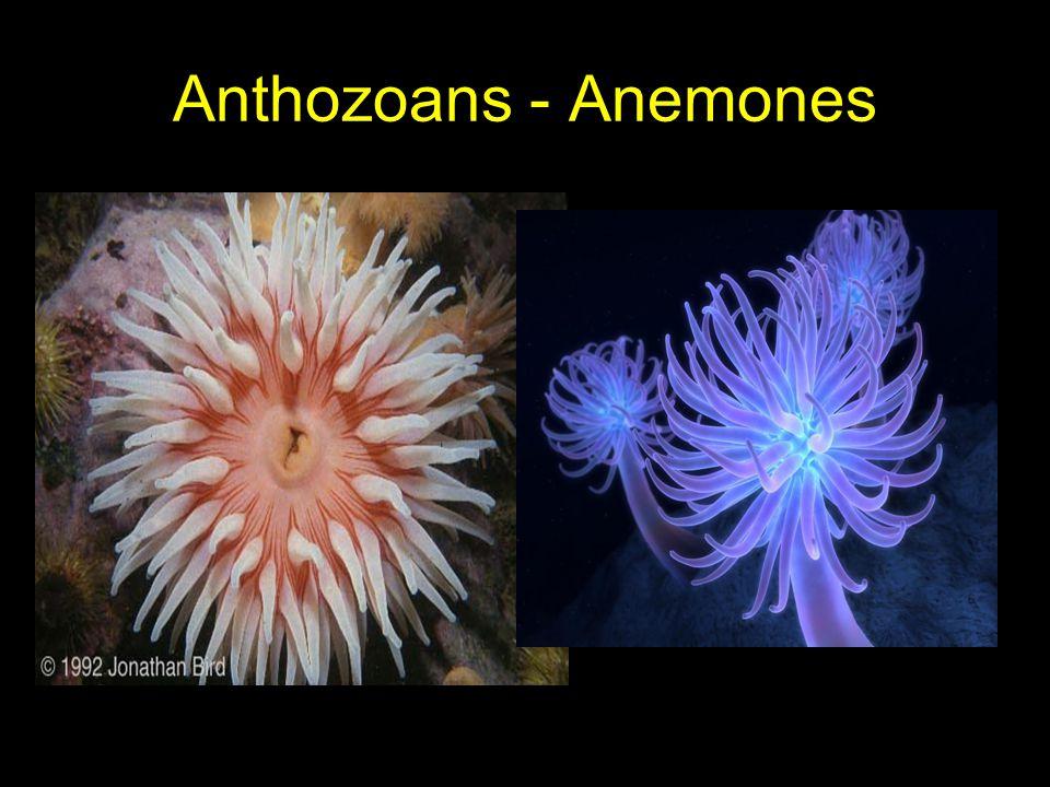 Anthozoans - Anemones