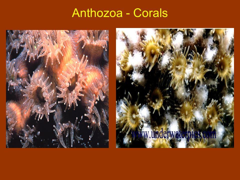 Anthozoa - Corals