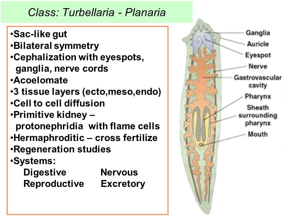 Class: Turbellaria - Planaria