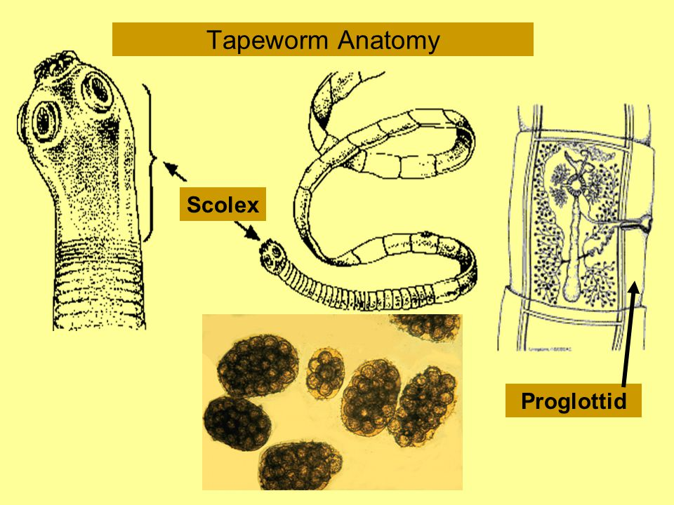 Tapeworm Anatomy Scolex Proglottid
