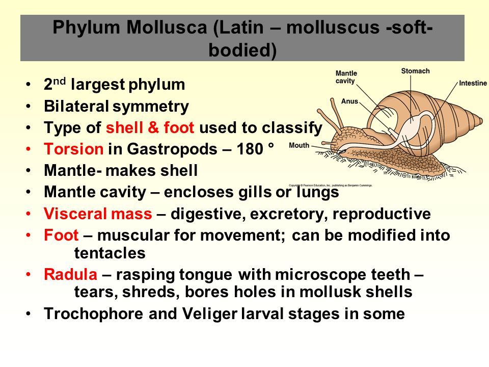 Phylum Mollusca (Latin – molluscus -soft-bodied)