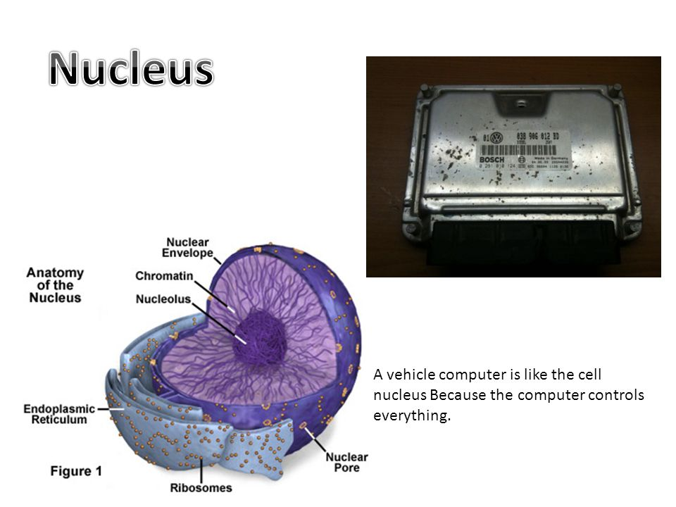 Nucleus A vehicle computer is like the cell nucleus Because the computer controls everything.