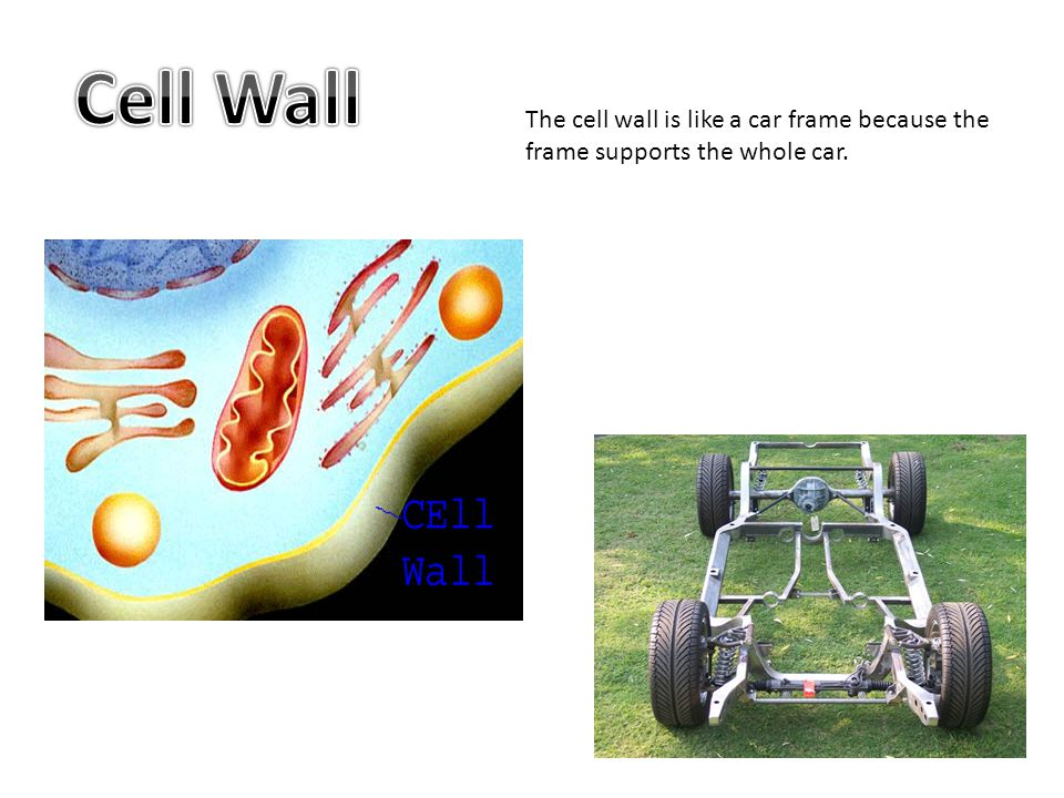 Cell Wall The cell wall is like a car frame because the frame supports the whole car.