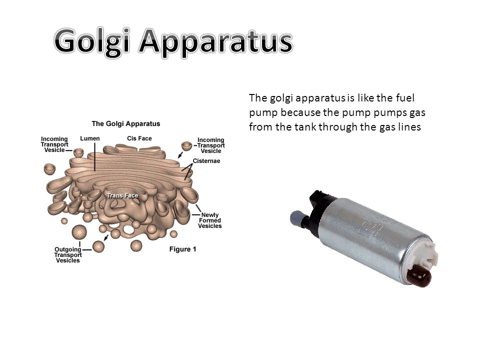Golgi Apparatus The golgi apparatus is like the fuel pump because the pump pumps gas from the tank through the gas lines.