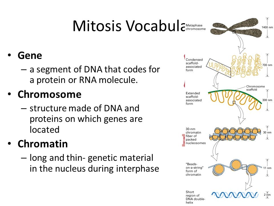 Mitosis Vocabulary Gene Chromosome Chromatin