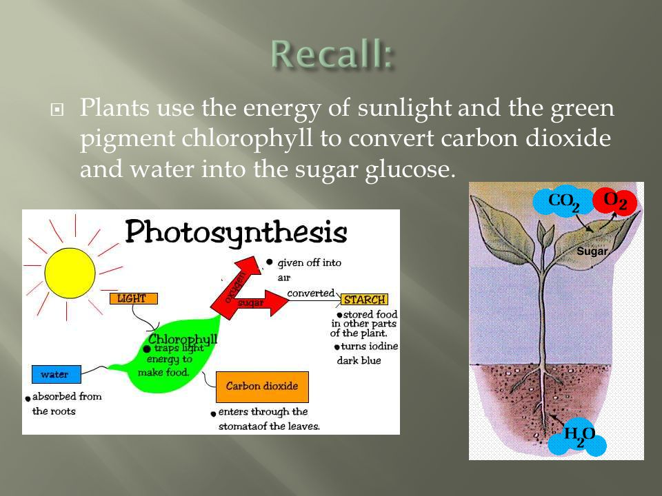 Recall: Plants use the energy of sunlight and the green pigment chlorophyll to convert carbon dioxide and water into the sugar glucose.