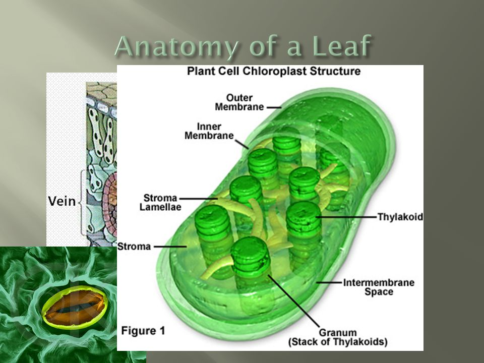 Anatomy of a Leaf