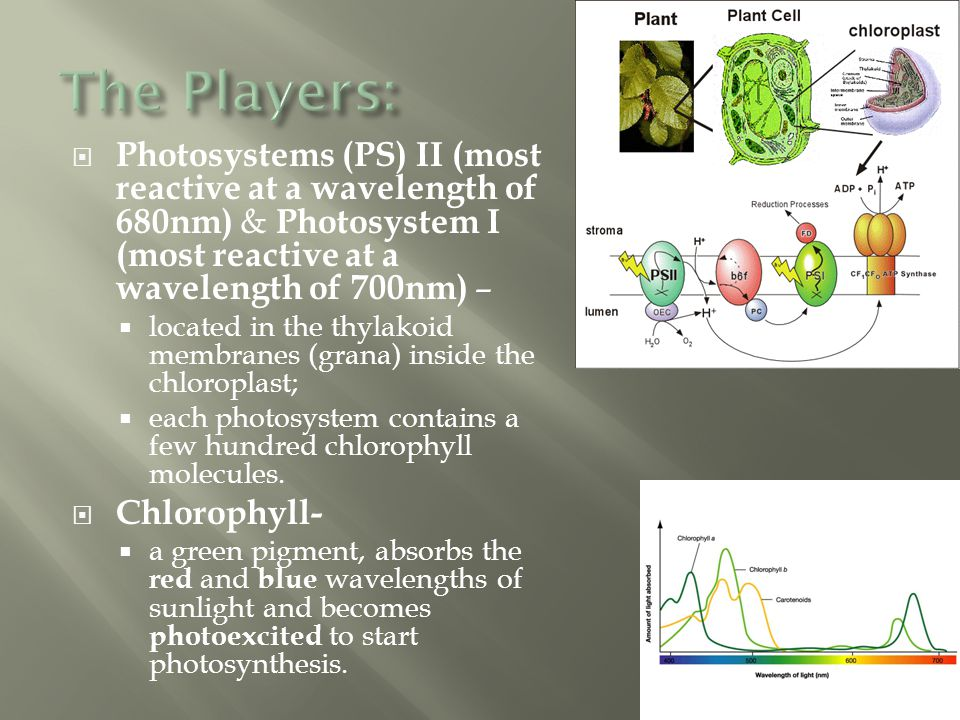 The Players: Photosystems (PS) II (most reactive at a wavelength of 680nm) & Photosystem I (most reactive at a wavelength of 700nm) –