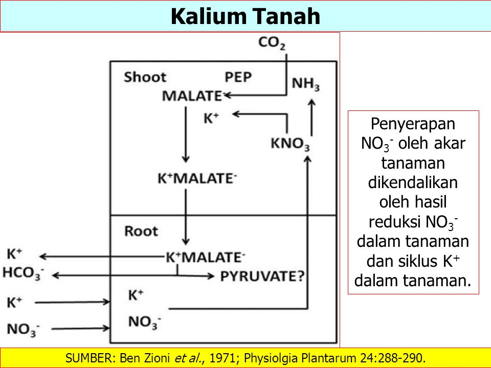SUMBER: Ben Zioni et al., 1971; Physiolgia Plantarum 24:288-290.