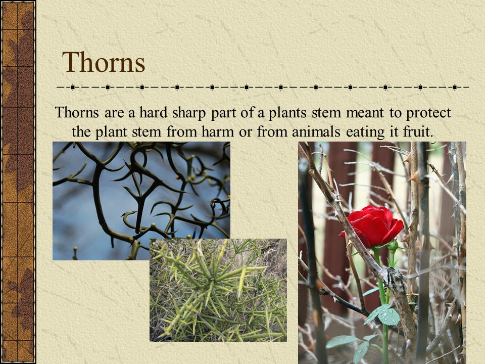 Thorns Thorns are a hard sharp part of a plants stem meant to protect the plant stem from harm or from animals eating it fruit.