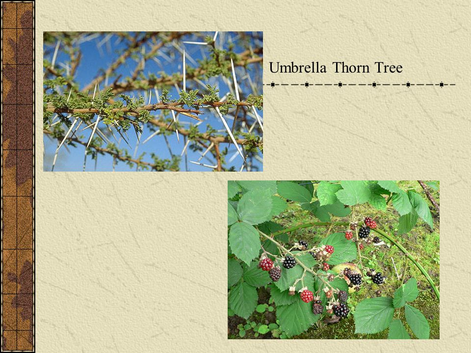 Umbrella Thorn Tree