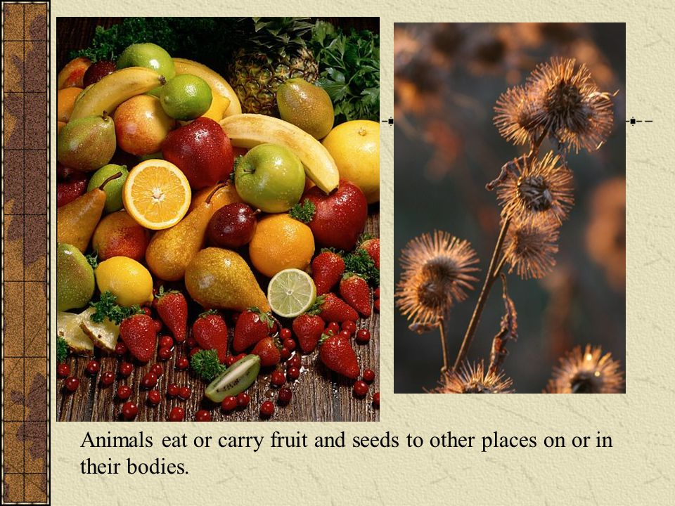 Animals eat or carry fruit and seeds to other places on or in their bodies.