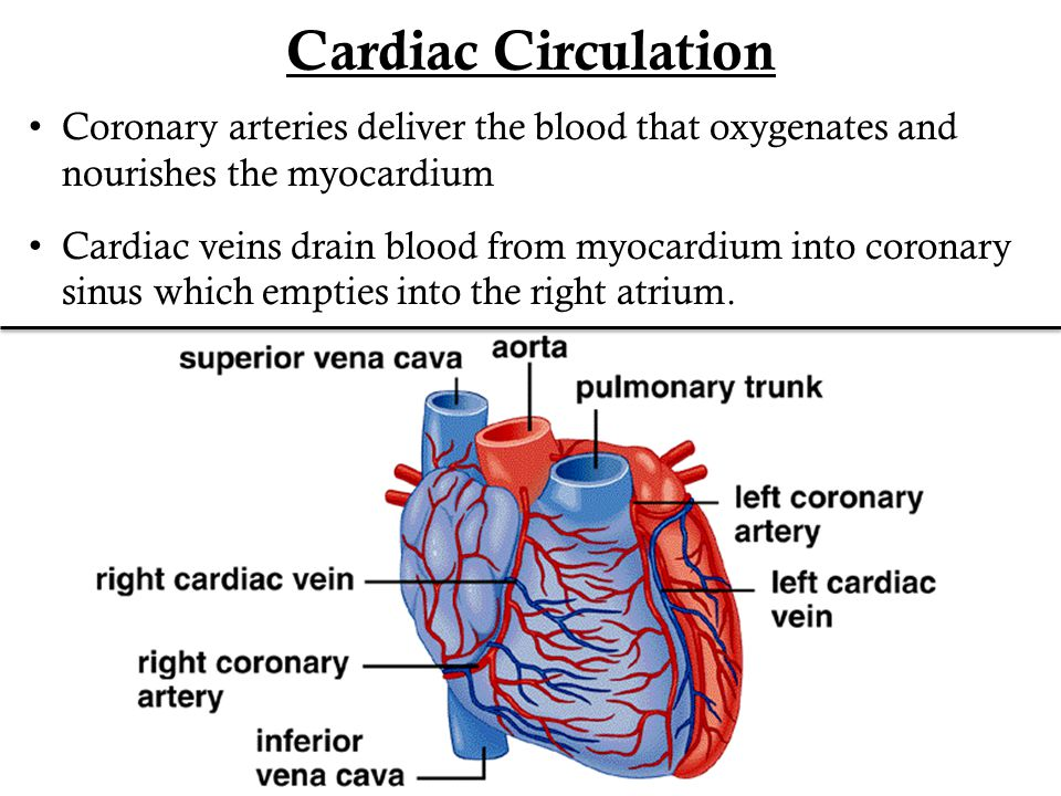 Cardiac Circulation Coronary arteries deliver the blood that oxygenates and nourishes the myocardium.