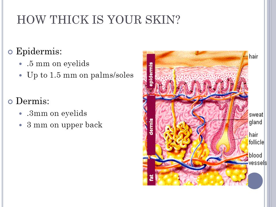 HOW THICK IS YOUR SKIN Epidermis: Dermis: .5 mm on eyelids