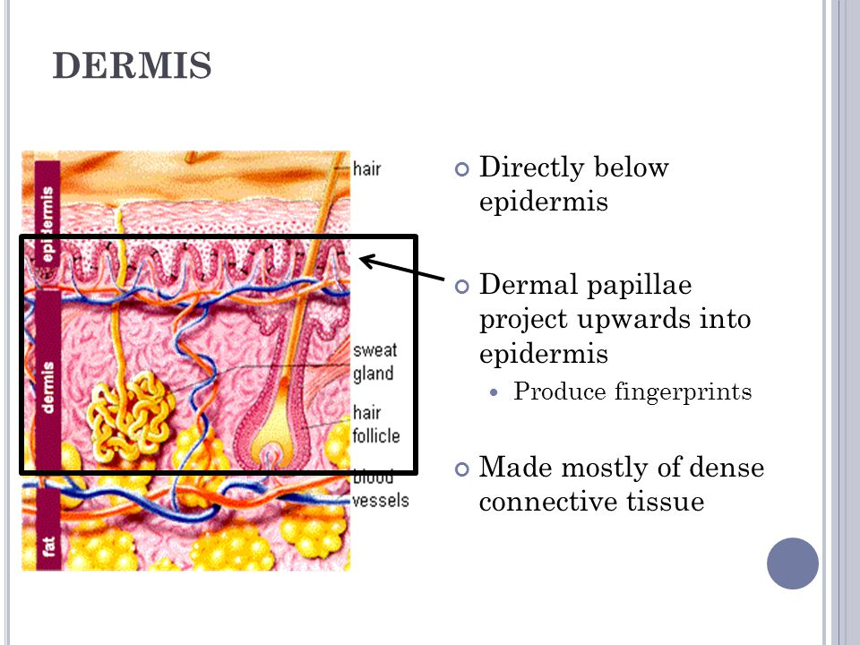 DERMIS Directly below epidermis