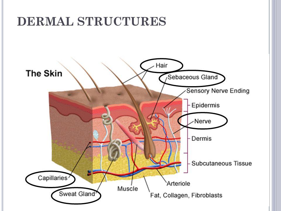 DERMAL STRUCTURES