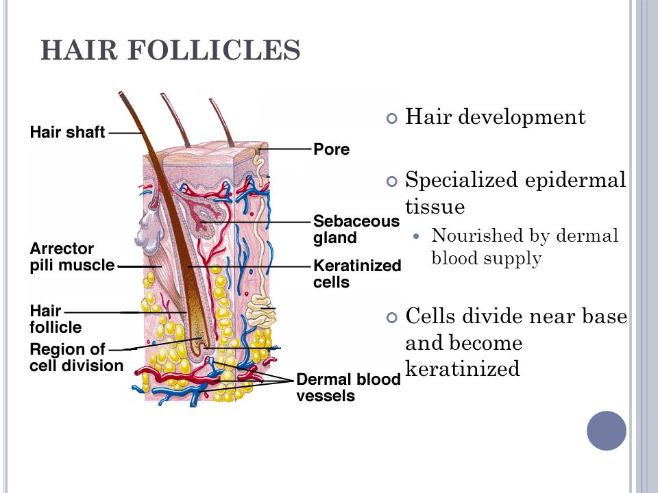 HAIR FOLLICLES Hair development Specialized epidermal tissue