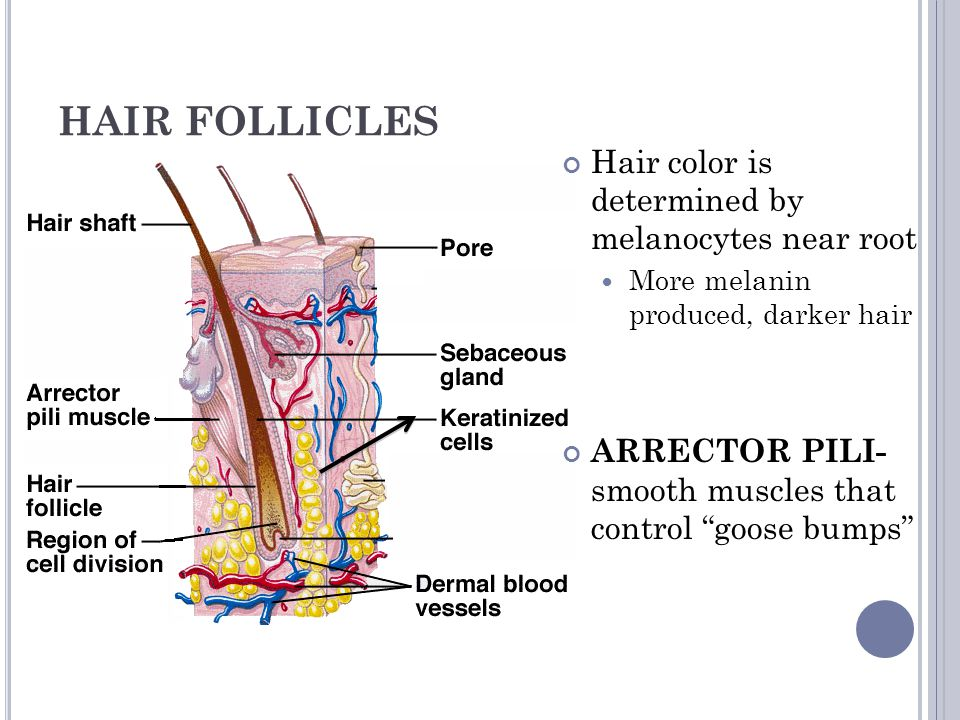 HAIR FOLLICLES Hair color is determined by melanocytes near root