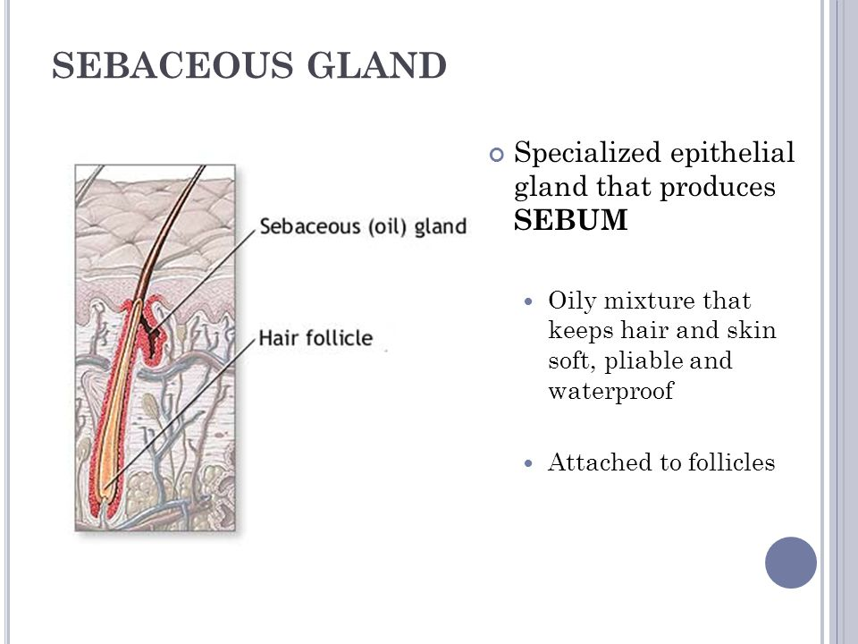 SEBACEOUS GLAND Specialized epithelial gland that produces SEBUM