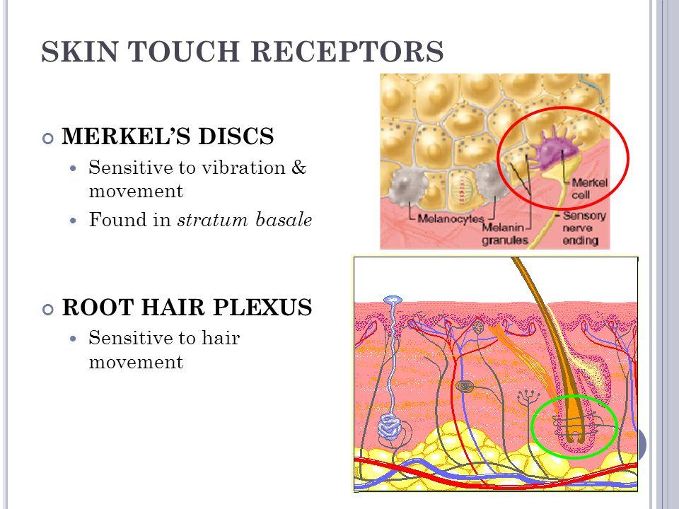 SKIN TOUCH RECEPTORS MERKEL'S DISCS ROOT HAIR PLEXUS