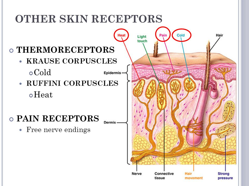 OTHER SKIN RECEPTORS THERMORECEPTORS Cold Heat PAIN RECEPTORS