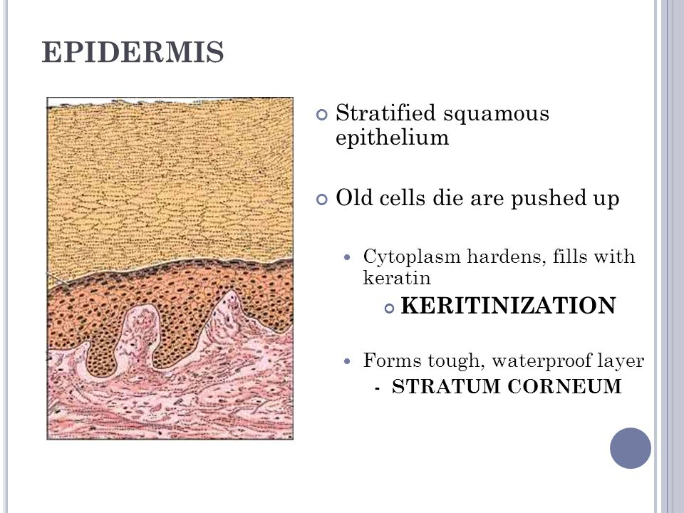 EPIDERMIS Stratified squamous epithelium Old cells die are pushed up