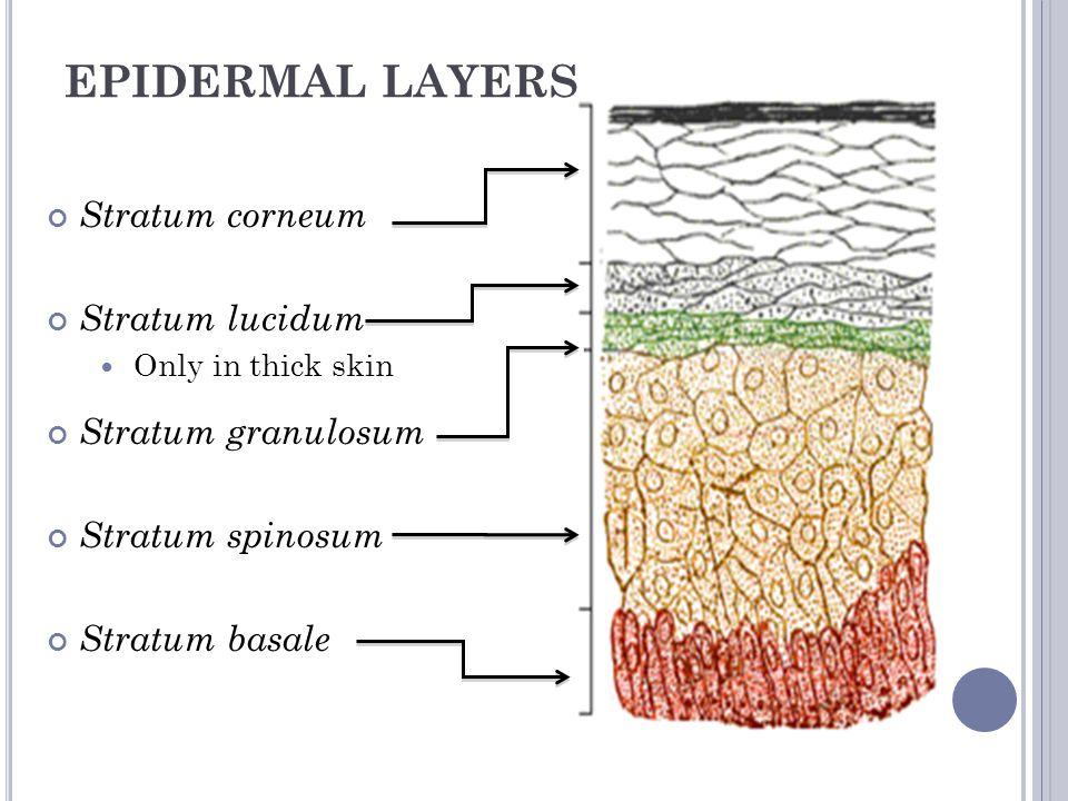 EPIDERMAL LAYERS Stratum corneum Stratum lucidum Stratum granulosum