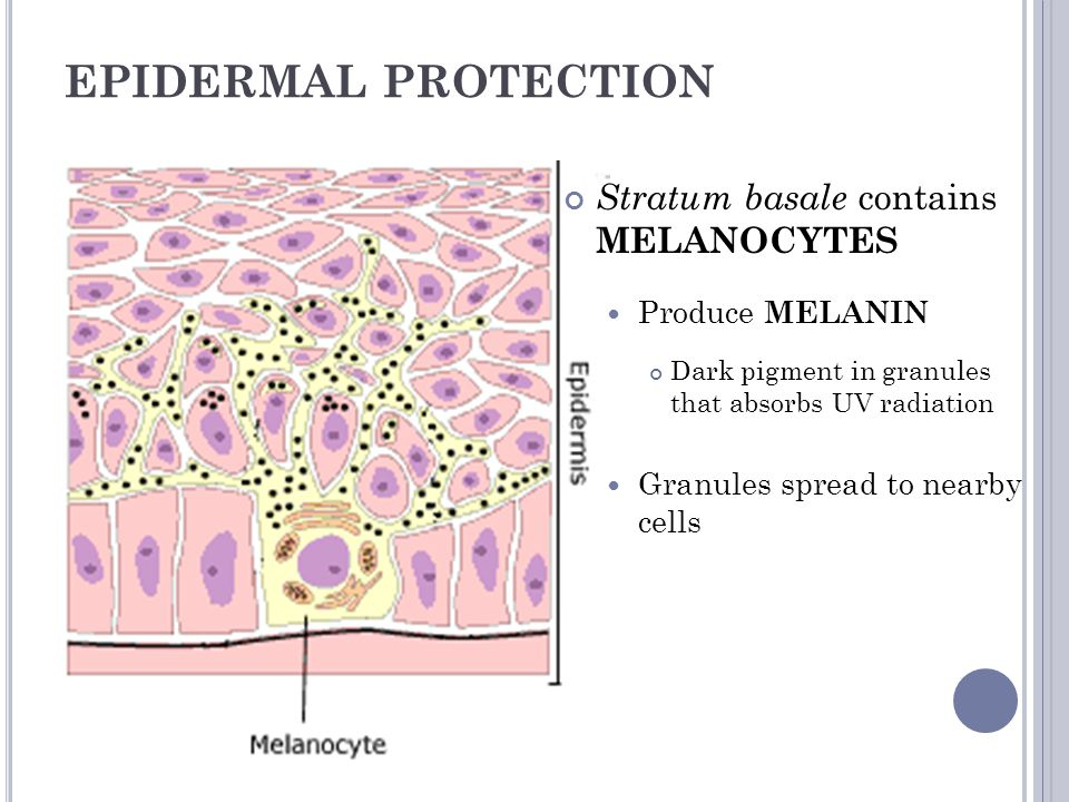 EPIDERMAL PROTECTION Stratum basale contains MELANOCYTES