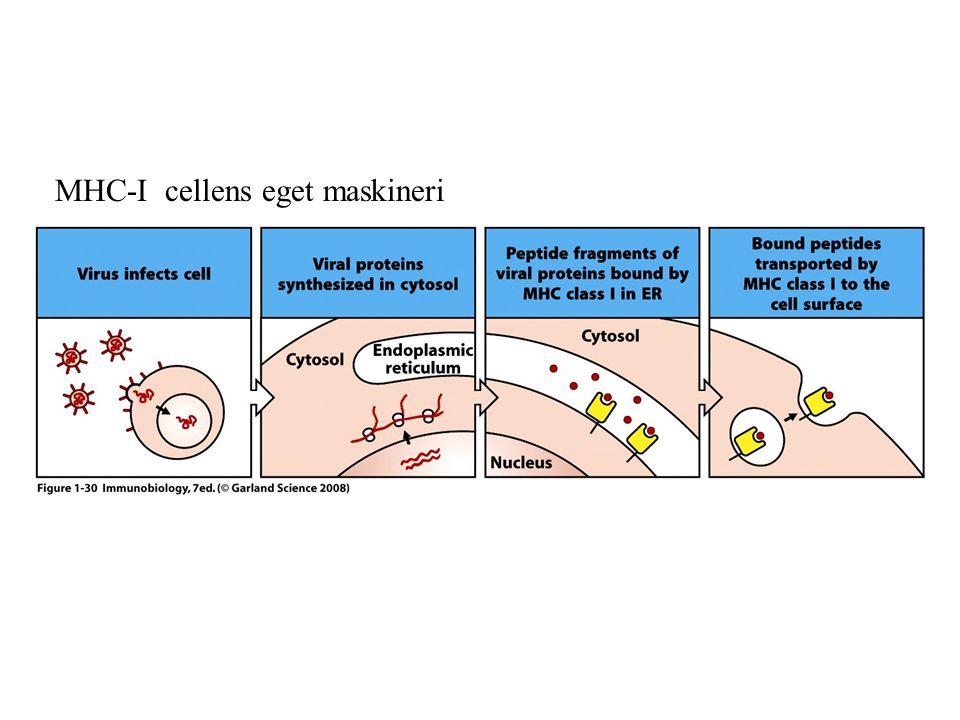 MHC-I cellens eget maskineri