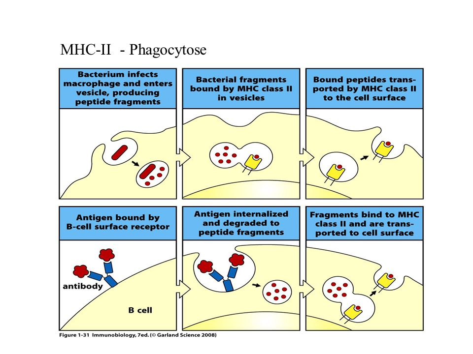MHC-II - Phagocytose