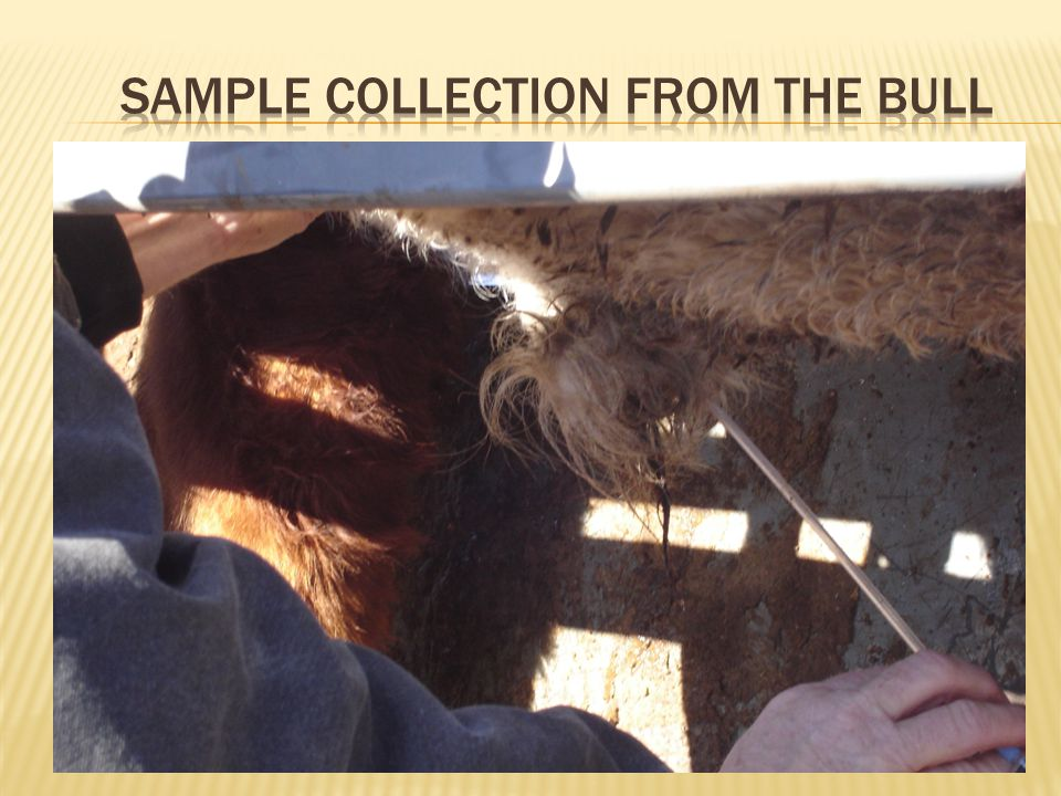 Sample Collection from the bull