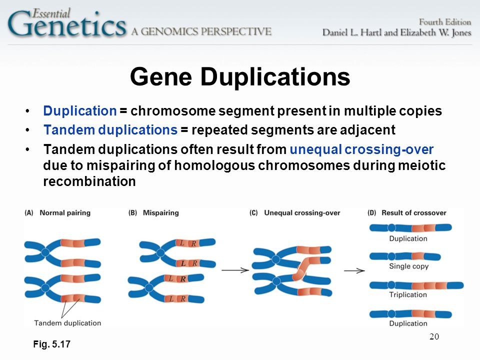 Gene Duplications Duplication = chromosome segment present in multiple copies. Tandem duplications = repeated segments are adjacent.