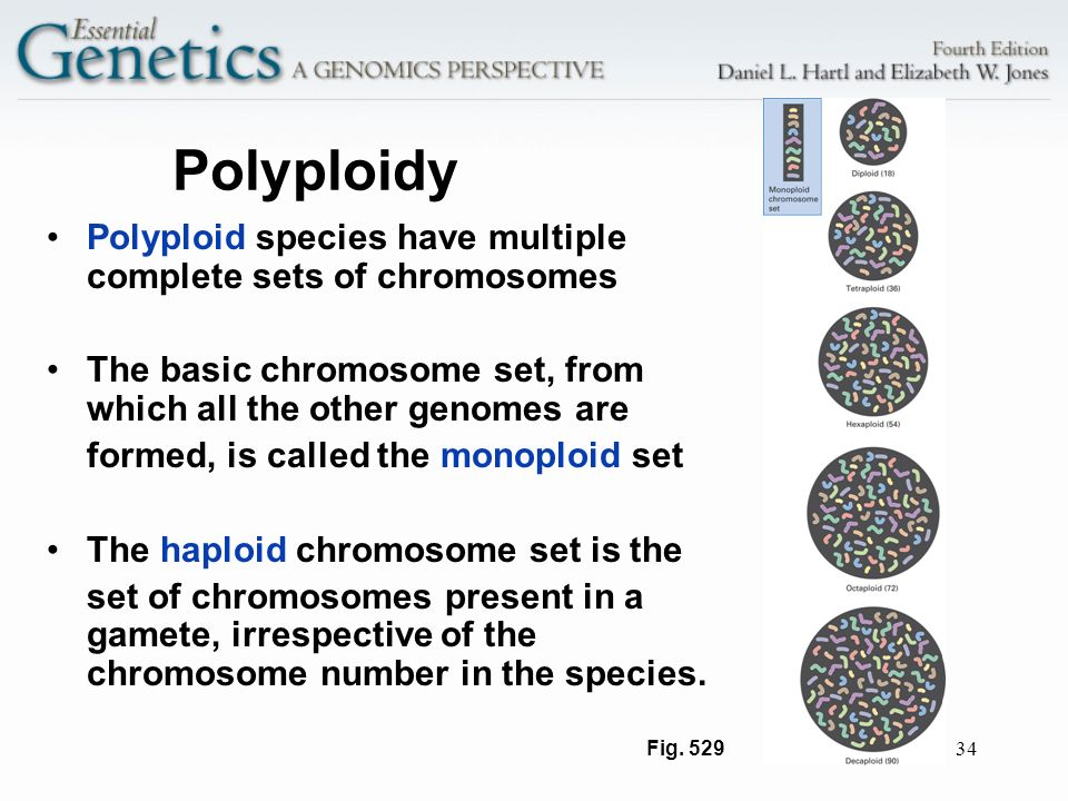 Polyploidy Polyploid species have multiple complete sets of chromosomes. The basic chromosome set, from which all the other genomes are.