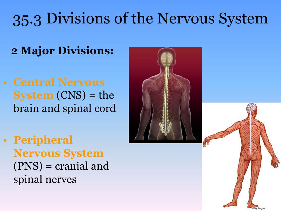 35.3 Divisions of the Nervous System