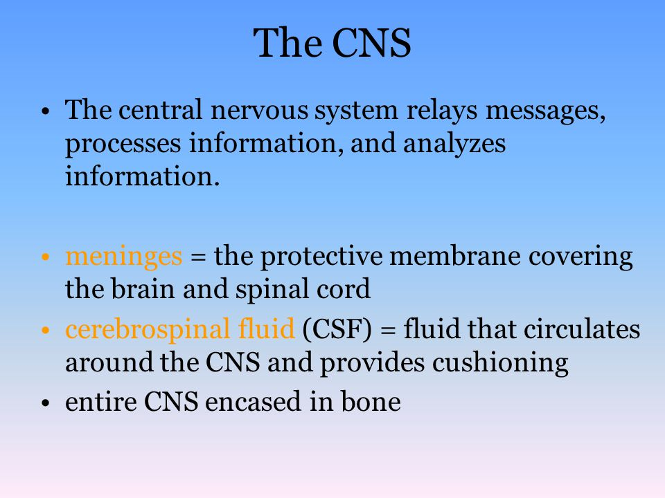 The CNS The central nervous system relays messages, processes information, and analyzes information.