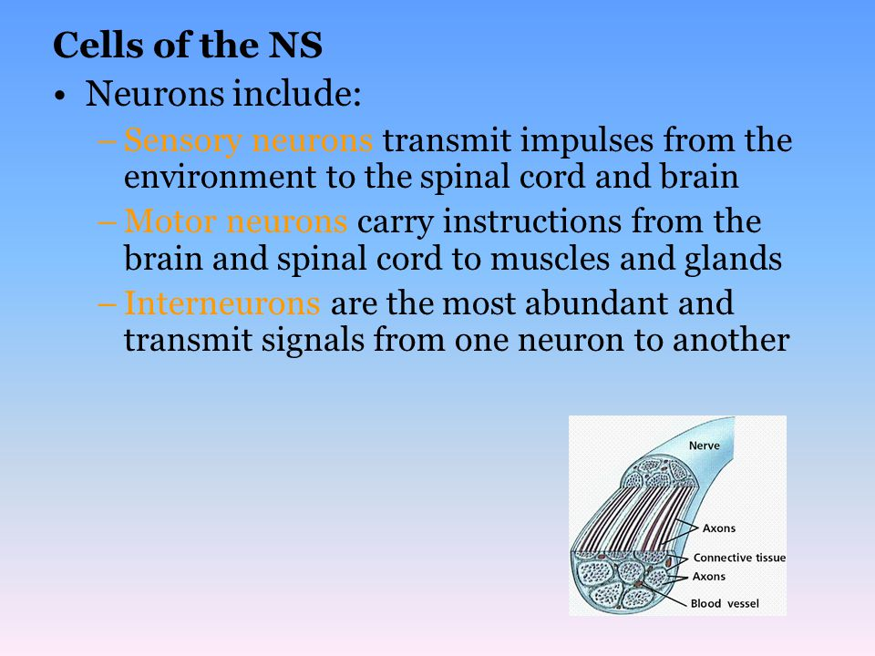 Cells of the NS Neurons include:
