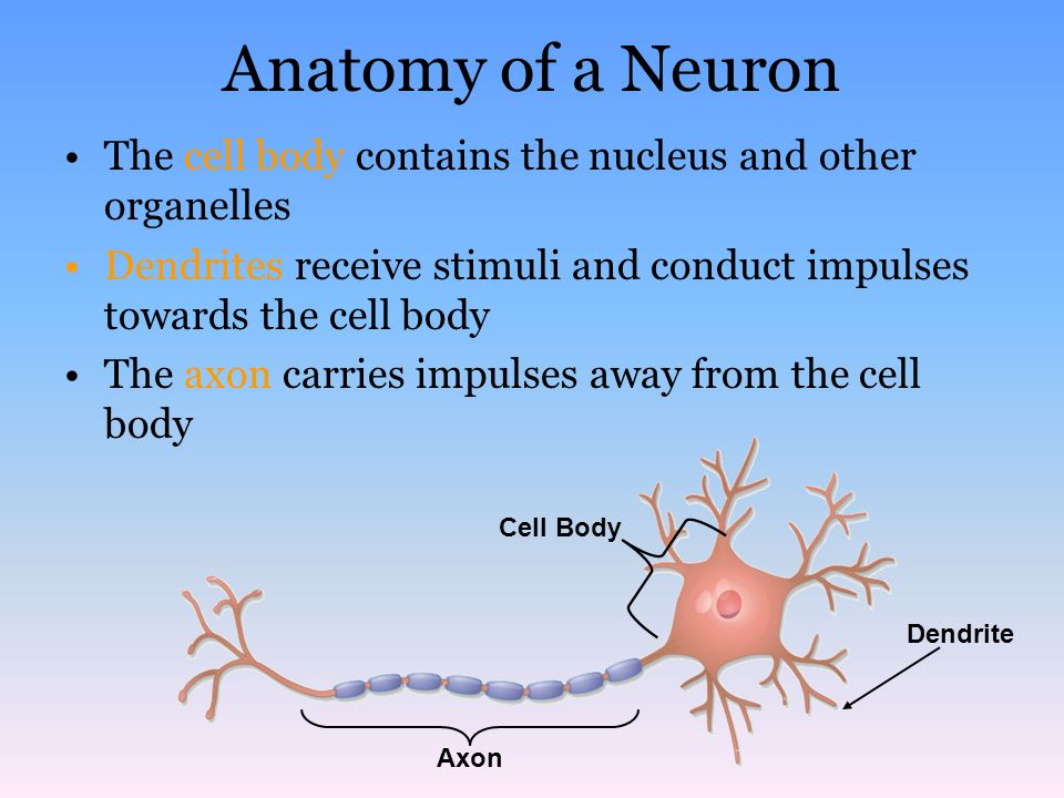 Anatomy of a Neuron The cell body contains the nucleus and other organelles. Dendrites receive stimuli and conduct impulses towards the cell body.