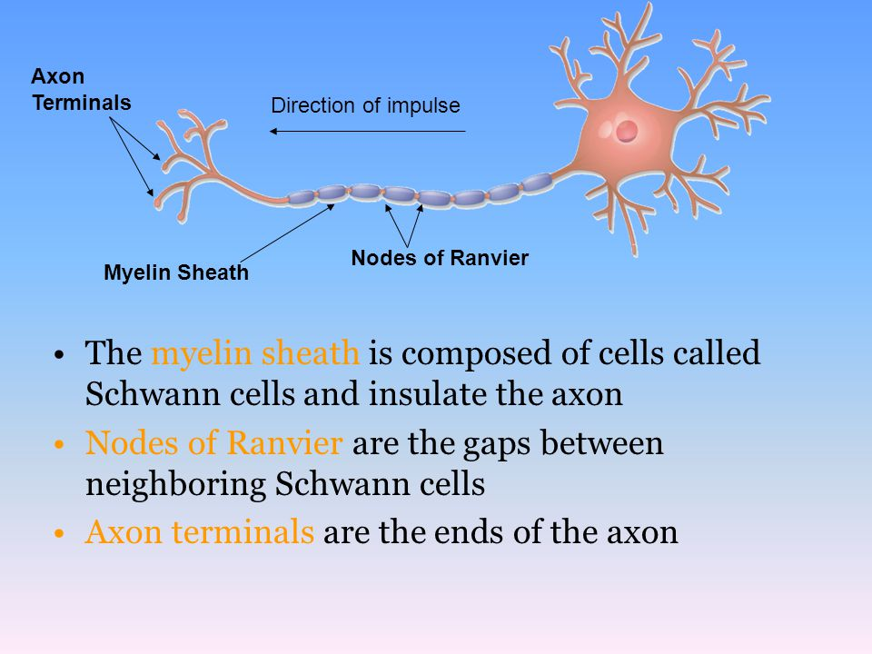 Nodes of Ranvier are the gaps between neighboring Schwann cells