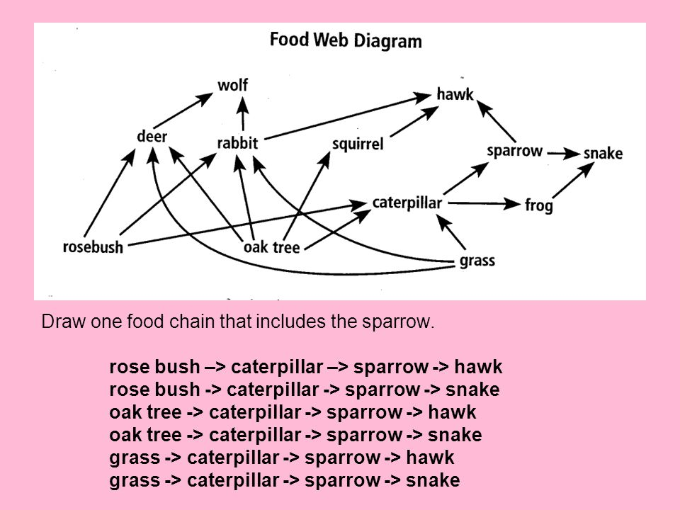 Draw one food chain that includes the sparrow.
