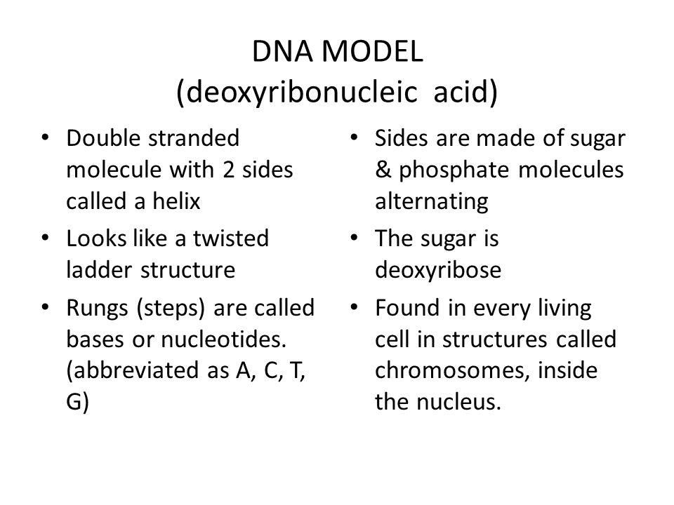 DNA MODEL (deoxyribonucleic acid)