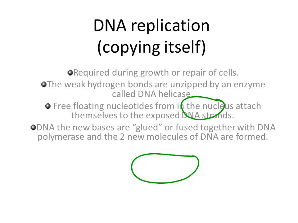 DNA replication (copying itself)
