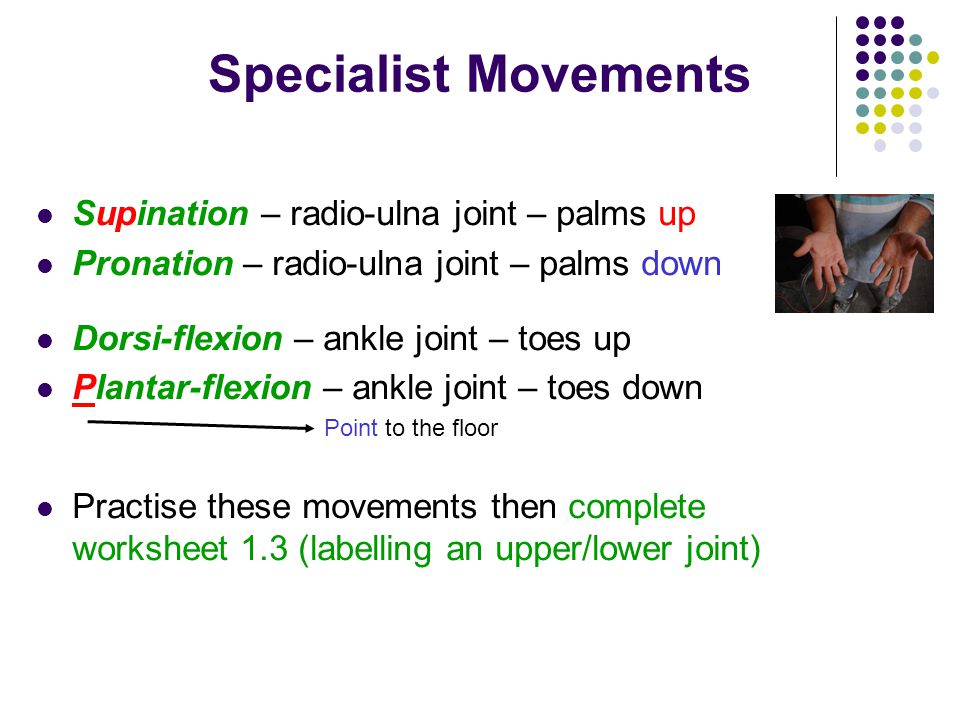 Specialist Movements Supination – radio-ulna joint – palms up
