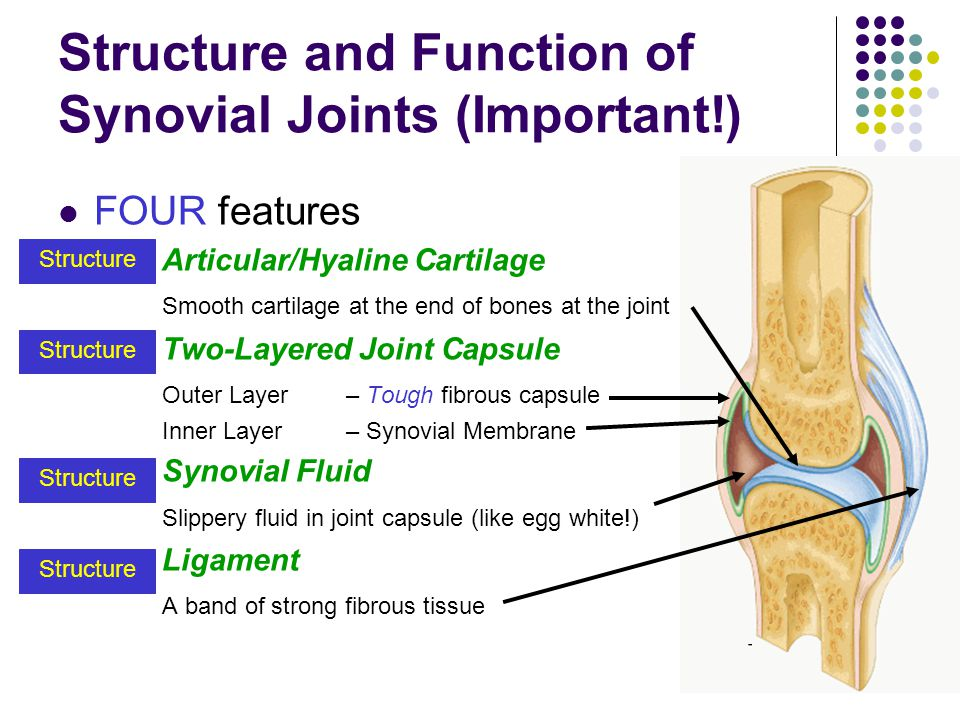 Structure and Function of Synovial Joints (Important!)
