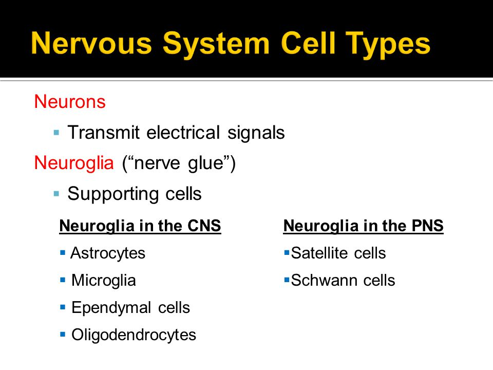 Nervous System Cell Types