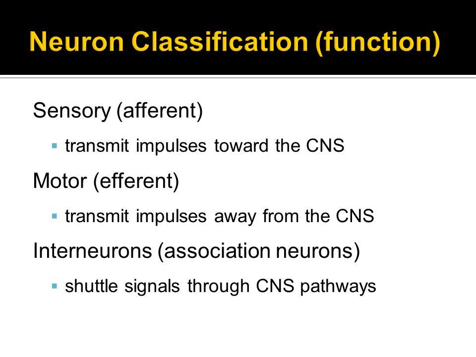 Neuron Classification (function)