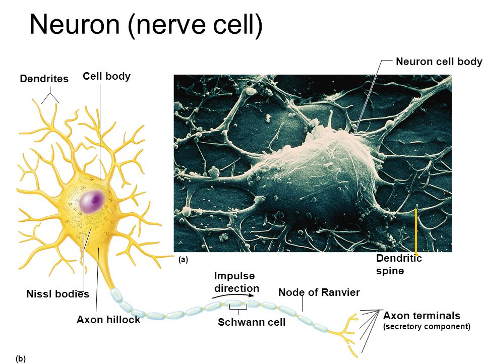 Neuron (nerve cell) Neuron cell body Cell body Dendrites Dendritic