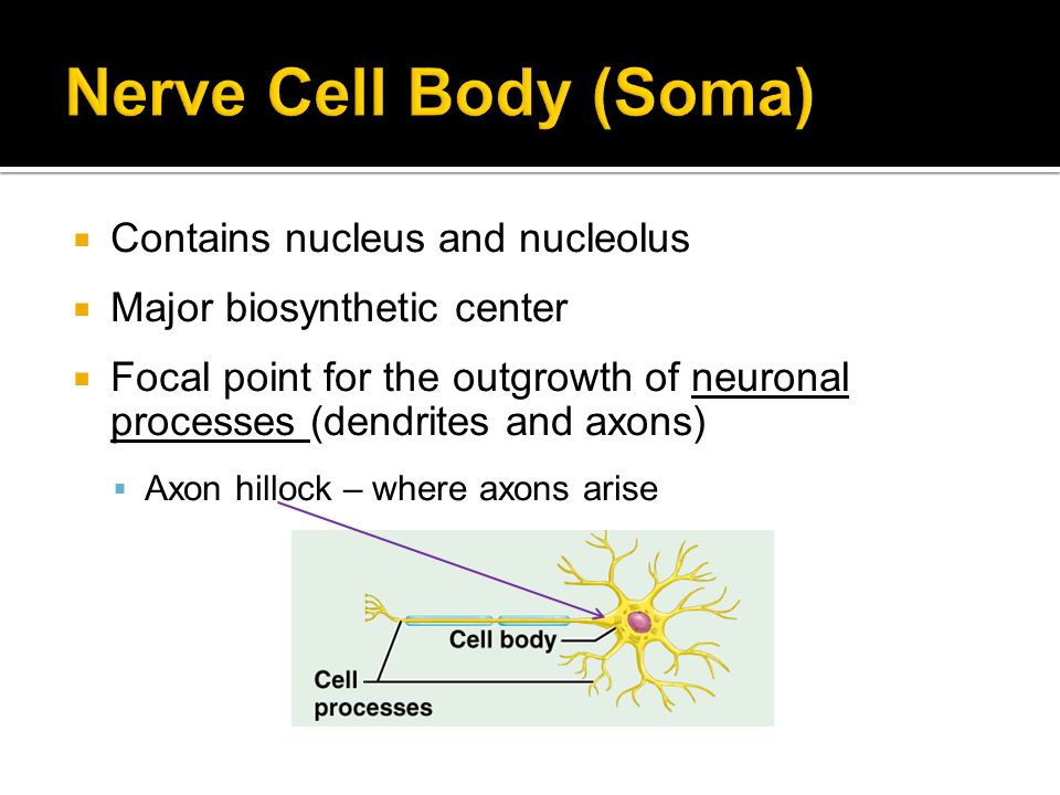 Nerve Cell Body (Soma) Contains nucleus and nucleolus